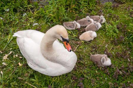 mothering: Swan nesting with young