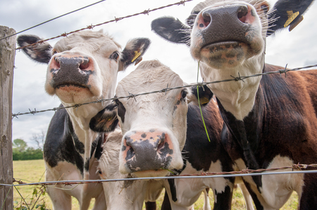Three cows close up of noses at wire border on farm Stock Photo