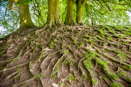 royalty free stock photos: Large and exposed tree roots visable above ground