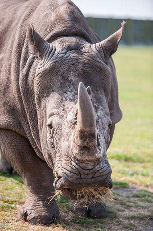 horns: Close up of Rhinoceros head and horns
