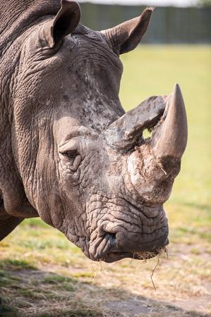 cuernos: Cerca de la cabeza y los cuernos de rinoceronte Foto de archivo