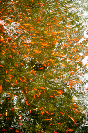 schooling: Many gold fish schooling in pond