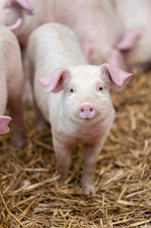 happy: Single cute pink piglet looking up Stock Photo