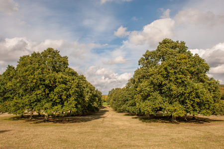 afield: two large trees in afield in summer Stock Photo