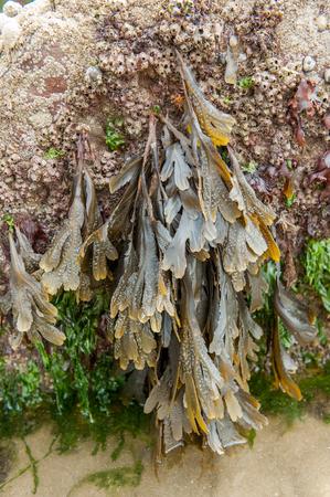 sea weed: close up of sea weed on coastal rock