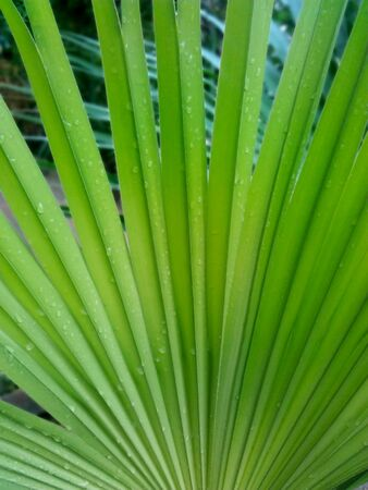 Natural Saw Palmetto Leaf Background Stock Photo