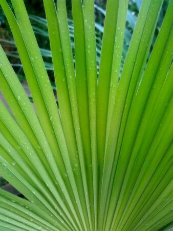 Natural Saw Palmetto Leaf Background Stock Photo Zdjęcie Seryjne