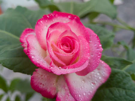 Fresh Pink Rose Flower With Water Drops or Rain Scene in Spring Session, close-up shot