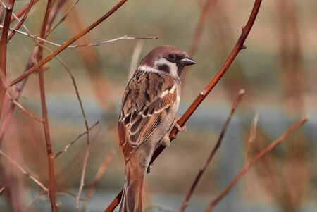 A male house sparrow Passer domesticus perched on a flame of the forest Butea monosperma tree branch