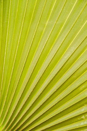 Palm leaf texture photo