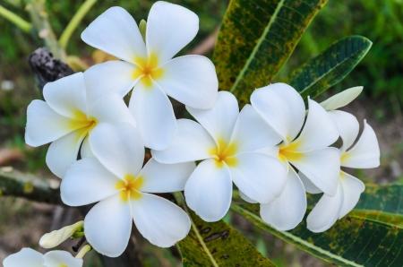 yellow plumeria flower photo