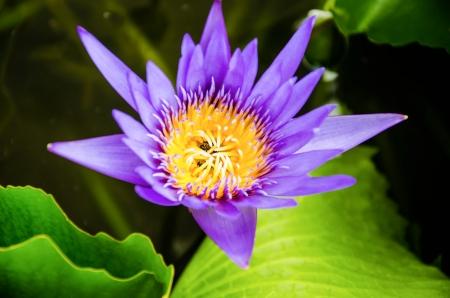 nymphaea: closeup blue lotus  Thailand Stock Photo