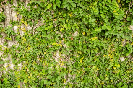 dense mats: green  leaves on wall background