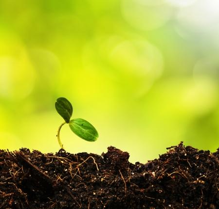 siembra: Brote verde que crece de la tierra