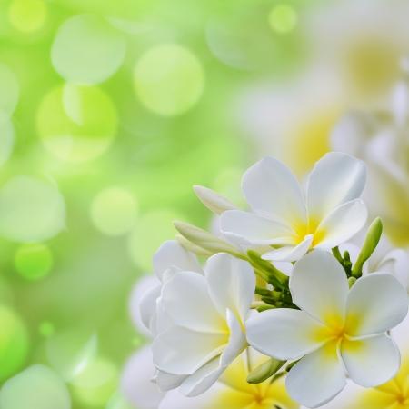 white Plumeria flowers border Design  Archivio Fotografico