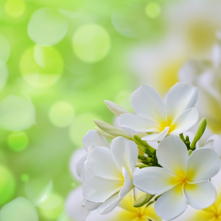 white Plumeria flowers border Design  Stock Photo