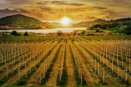 grape field: Beautiful Vineyard Sunset in east Thailand Stock Photo
