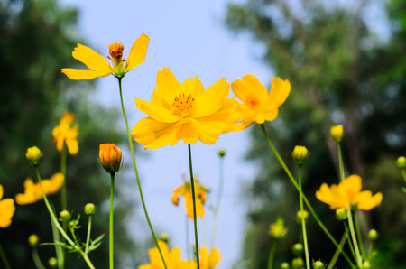 Yellow Cosmos flower and blue sky photo