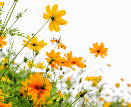 Yellow Cosmos flower and white  Stock Photo
