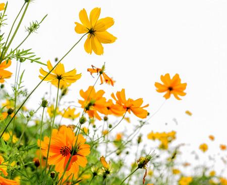 Yellow Cosmos flower and white  Standard-Bild