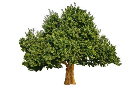 arboles frondosos: Gran árbol aislado Foto de archivo
