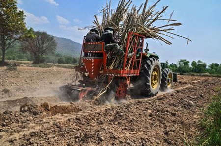 sugar cane: Sugar cane cultivate