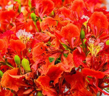 flamboyant: red flower peacock Stock Photo