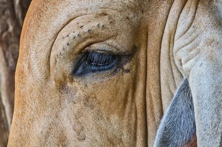 holsteine: close up eye cow