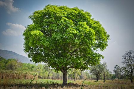 mango tree Banque d'images