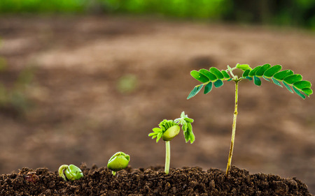 planta con raiz: paso de la creciente brote de tamarindo Foto de archivo