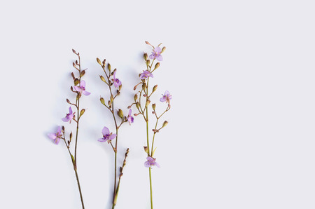 Wild violet flowers on white background. Top view, flat lay