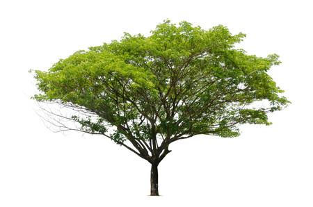 broad leaf: big tree green leaf isolate on white background