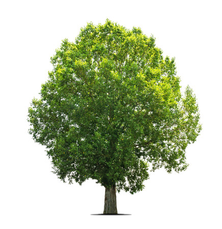 broad leaf: Trees isolated on white background