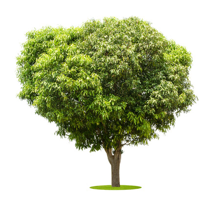 broad leaf: mango trees isolated on white background Stock Photo