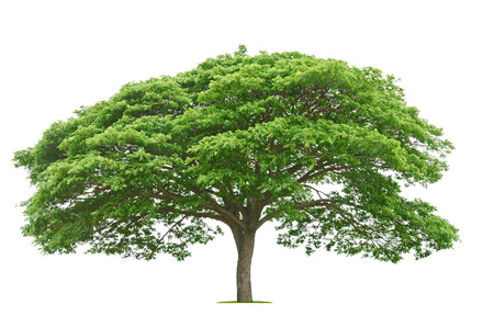 big tree and green leaf isolate on white background Stock Photo