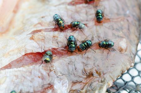 bliska grupy mucha jeść Suszone ryby