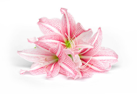 amaryllis flower isolate on white background