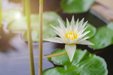 beautiful lotus flower in pond and sunshine
