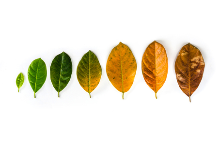 Leaves of different age of jack fruit tree on white background concept leaves birth to death