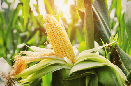 Closeup corn on stalk in field with sunset background Stockfoto