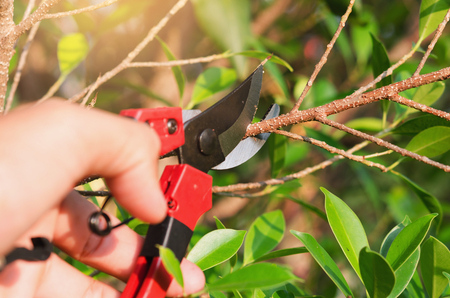 Close up hand pruning tree and pruning shear in garden
