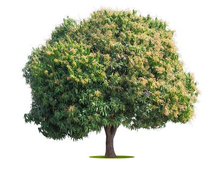 mango tree isolate on white background 写真素材