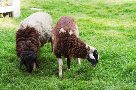 two sheep on green grass in farm