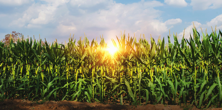 Mais wächst in Plantage mit Sonne und blauem Himmel