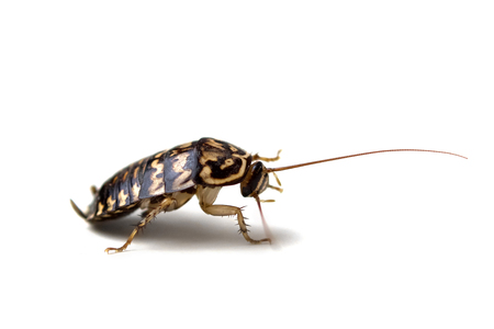 cockroach isolate on white background