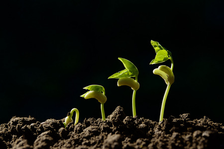 growing step green young bean on black background Stock Photo