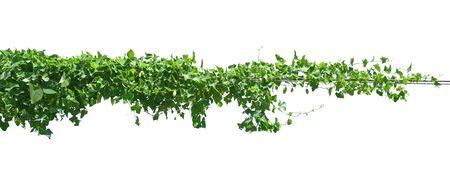 Isoler les plantes de lierre à feuilles vertes sur fond blanc