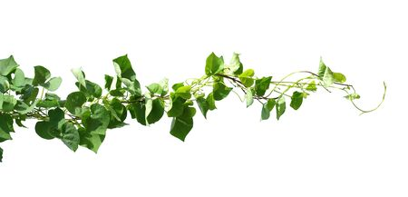 ivy plant isolate on white background