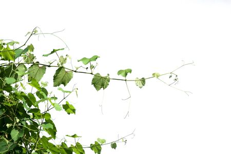 ivy plant isolate on white background Stok Fotoğraf