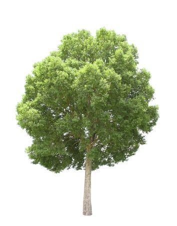 arbre isoler sur fond blanc